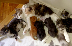 Mother cat with kittens image